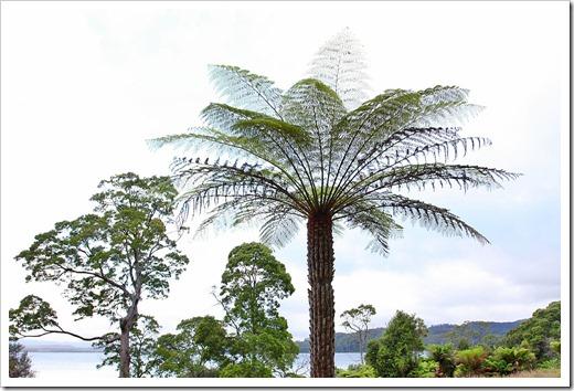 100104-Sarah-Island,-Tasmania,-tree-ferns_15