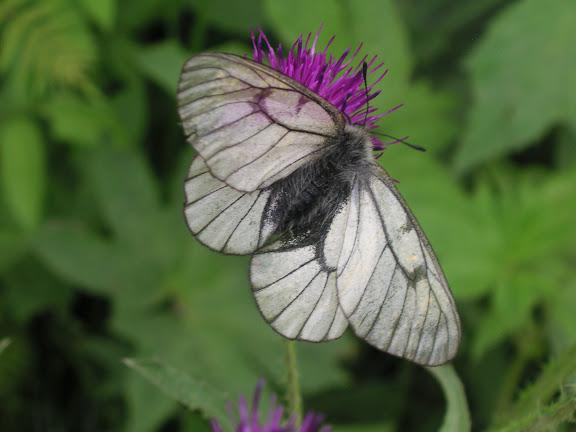 Parnassius stubbendorfii standfussi BRYK, 1912, mâle. Narichnyi (Primorskij Kraj, Oussouri), 22 juin 2011. Photo : Jean Michel