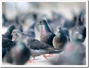 aos pombos