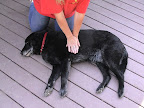 Compressions for medium to large dogs: With you left hand, push on the chest 10-15 times (approximately 3 compressions every 2 seconds) and then deliver 2 more breaths. Repeat.  Every 4 cycles, check for a pulse.