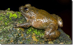 MEOWING NIGHT FROG- Nyctibatrachus poocha