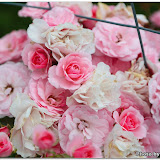 flowers@Balkans