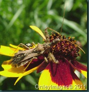 assassin bug0623 (2)
