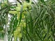 acacia-longifolia