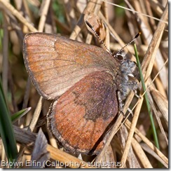 Brown Elfin (Callophrys augustinus)