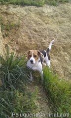beagle de sevilla