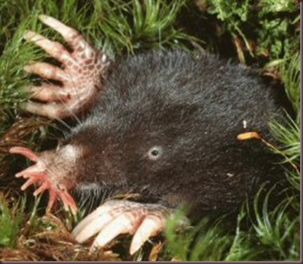 Amazing Animal Pictures Star Nosed Mole (9)
