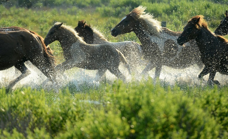 chincoteague-pony-swim-15