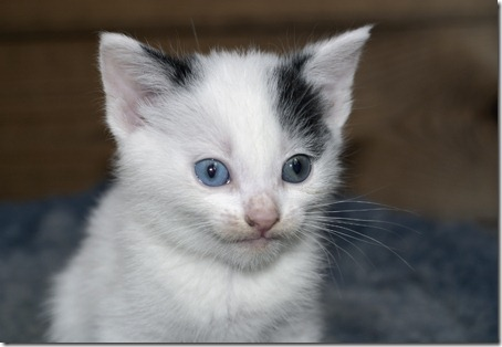 Blue eyed kitten's face covered with catfood after eating