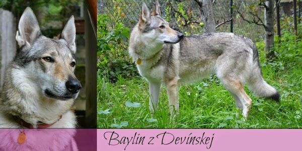 Baylin z Devínskej 2.jpg