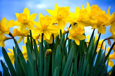 Daffodils 015