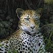 leo  le leopard