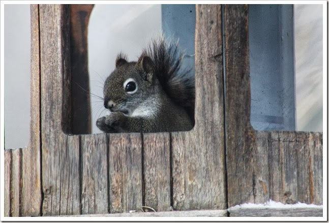 squirrel 2.14 008