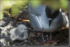 Swallow Tail Gull Chick