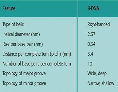 Characteristics of B- DNA