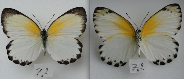 Appias sylvia sylvia (FABRICIUS, 1775), femelle. Ebogo (Cameroun), avril 2013. Coll. et photo : C. Basset