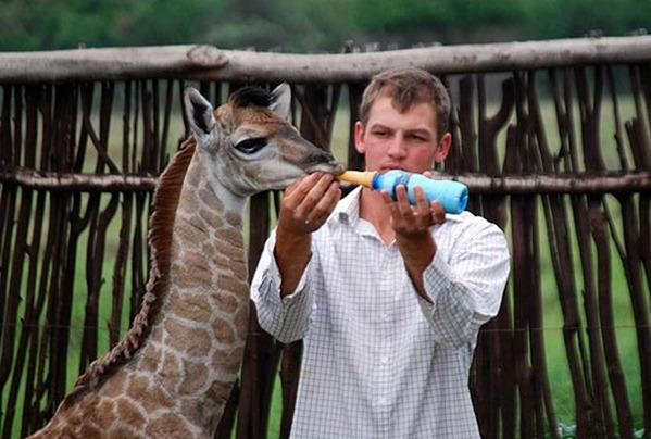 pet-giraffe-4_1470657a