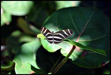 Zebra Butterfly - Florida State Butterfly