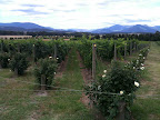 Jan 5 - Yarra Valley Vineyard