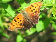 orange moth 1carolyns 5.2012