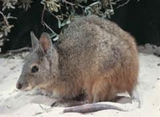 Amazing Pictures of Animals, Photo, Nature, Incredibel, Funny, Zoo, rufous hare-wallaby, (Lagorchestes hirsutus), Mammals, Alex (2)