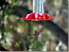 hummingbirds at park Sierra 003