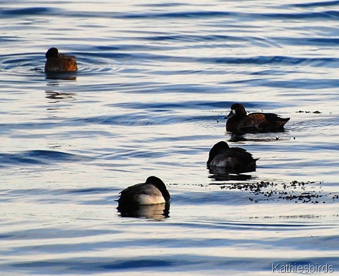 28. Gloucester greater scaup-kab
