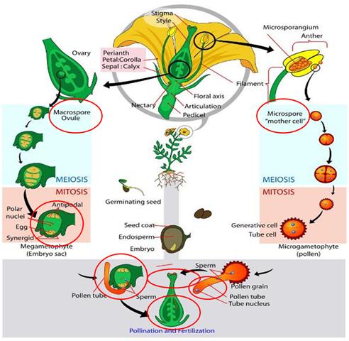 Heterospory and Seed habit