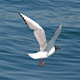 Bonaparte's gull