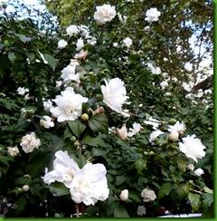 Hibiscus Branco Dobrado Fiore Pleno