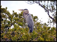 00a - Animals - Great Blue Heron