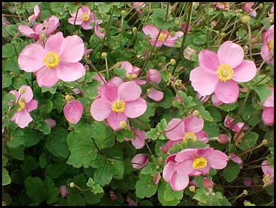 japanese-anemone2