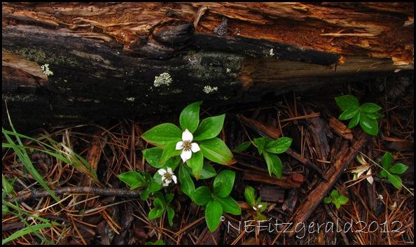 IMG_2837 DogwoodAlongIceLake Trail