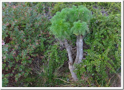 120211_UCSC_Arboretum_Coreopsis-gigantea_01