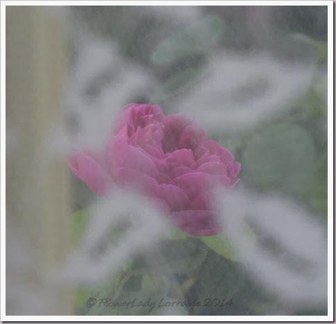 02-12-rose-de-rescht3