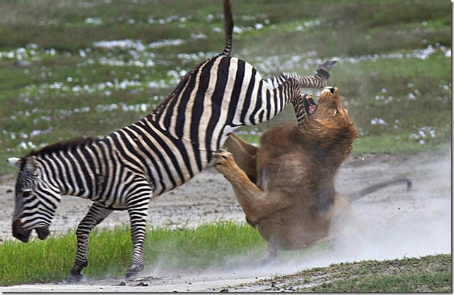 zebra-fighting-lion