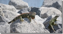 Iguanas at the breakwater