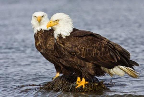 9- A águia careca