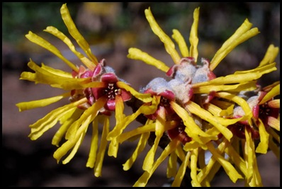 witch hazel2