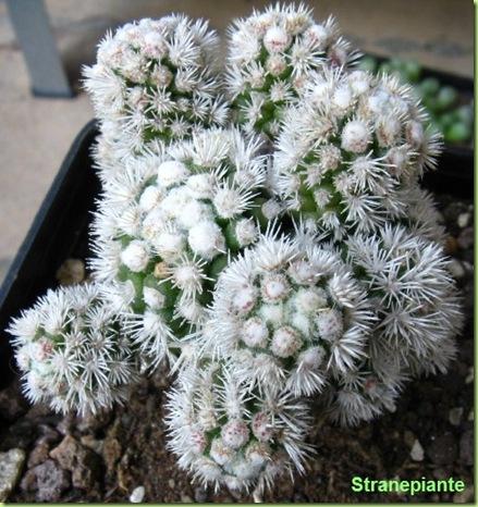 Mammillaria vetula ssp. gracilis cv. snowcap