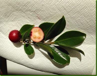 aaa Psidium eugenifolia