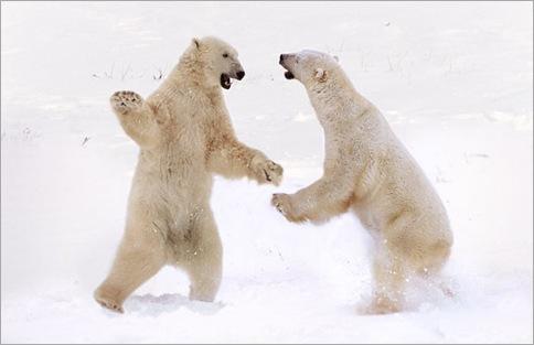 polar-bears_1536332i