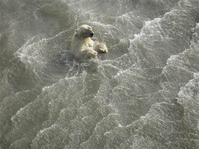 Polar bears like this one are having to spend more time in the Arctic water due to less summer sea ice. Polar bear cubs forced to swim long distances with their mothers as their icy Arctic habitat melts appear to have a higher mortality rate than cubs that didn't have to swim as far. Eric Regehr  /  U.S. Fish and Wildlife Office
