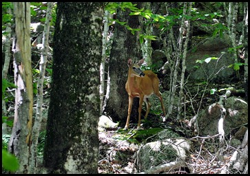 13b - The Carry Trail - deer - perfect ending to the hike