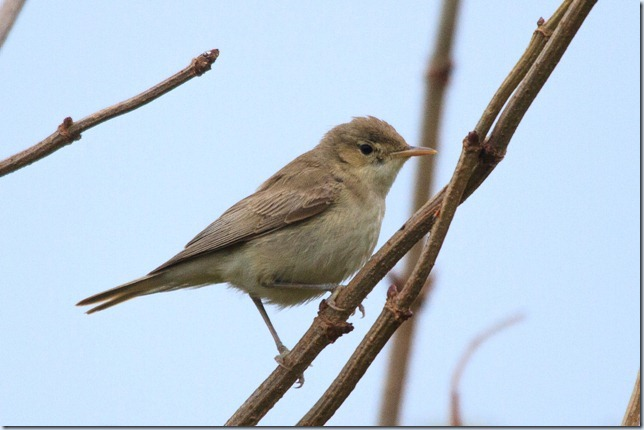 Kilminning_Eastern_Olivaceous_Warbler-2