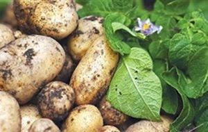 Διάθεση πατατόσπορου από τον Ενιαίο Αγροτικό Συνεταιρισμό