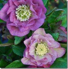 Helleborus Double Roses