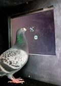 Math Pigeons