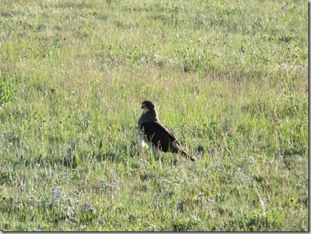 02 Swainson's hawk on meadow NR GRCA NP AZ (1024x767)