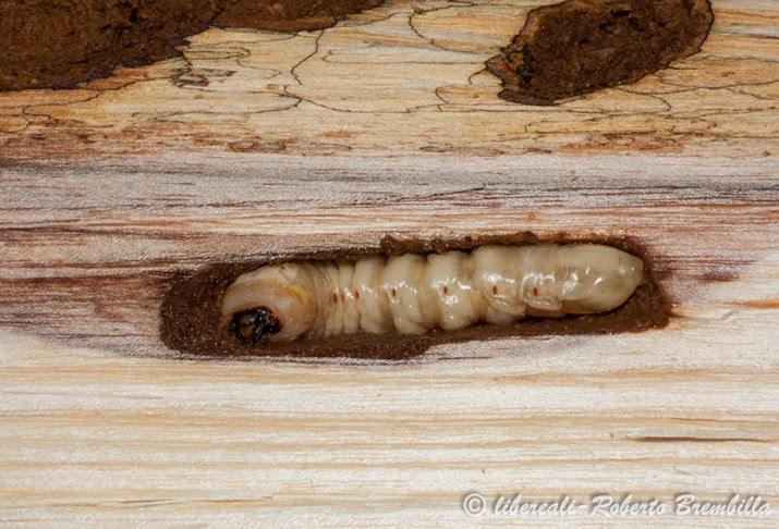 6-2014-02-20_larva Aegosoma scabricorne_Varenna (67)